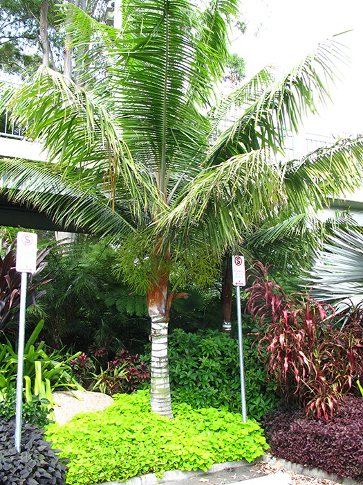 Palms For Brisbane: Roma Street Parklands Palm Garden
