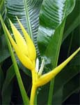 Heliconia angusta Yellow Christmas