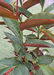 Alpinia caerulea red form
