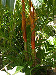 Areca vestiaria Orange