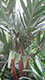 Areca vestiaria Red