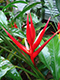 Heliconia angusta Red Holiday